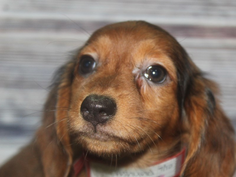 Dachshund-Female-Red Dapple-2833727-Pet City Houston