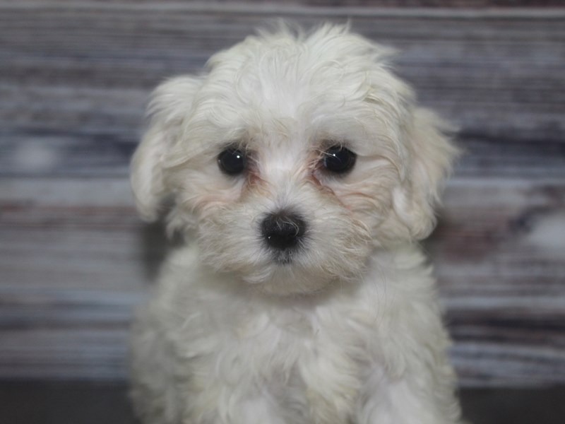 Maltese-Female-White w/ BLK mks-2833486-Pet City Houston