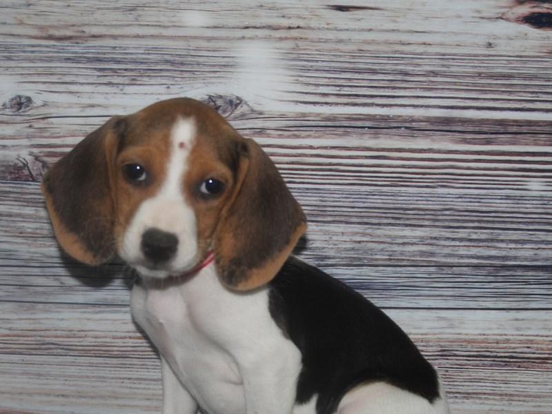 Beagle-Female-Tri-2831983-Pet City Houston