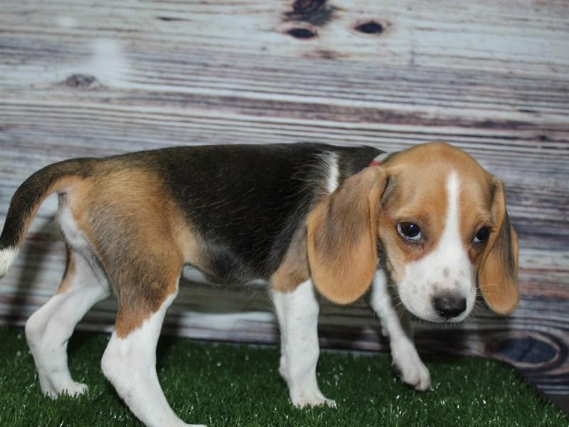 Beagle-Female-Tri-2831987-Pet City Houston