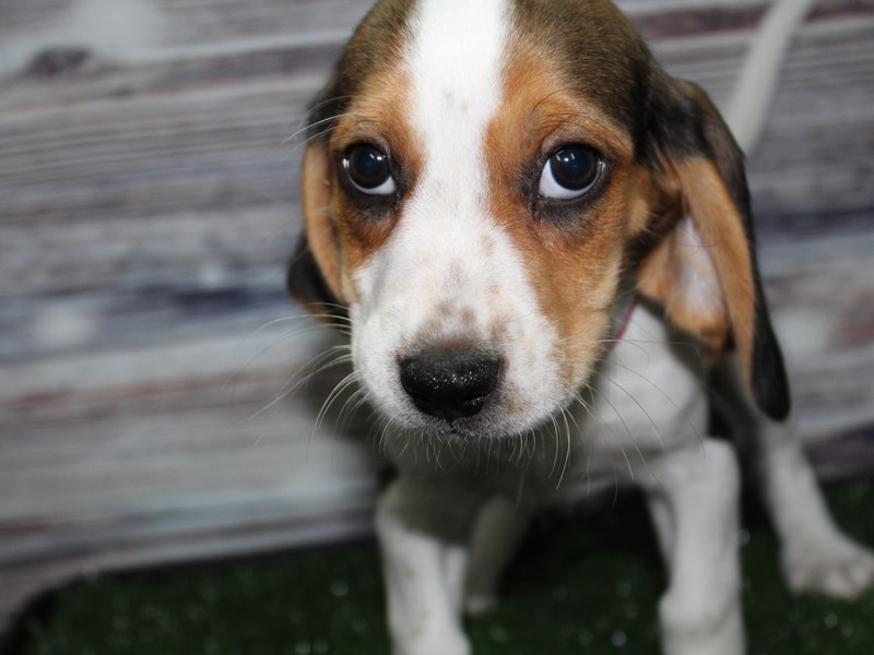 Beagle-Female-Tri-2831985-Pet City Houston