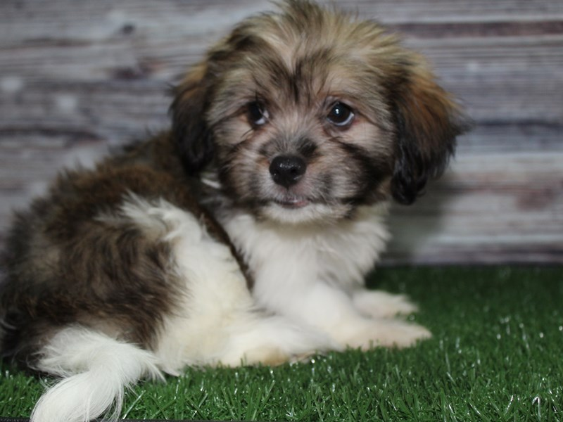 Hava Tzu-Male-Tri-2834276-Pet City Houston