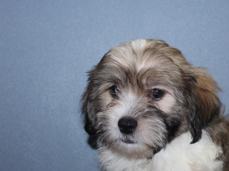 Hava Tzu-Male-Tri-2834287-Pet City Houston