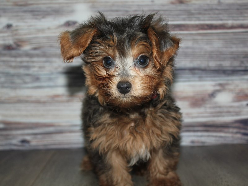 Yorkiepoo-Male-BLUE TAN-2841213-Pet City Houston
