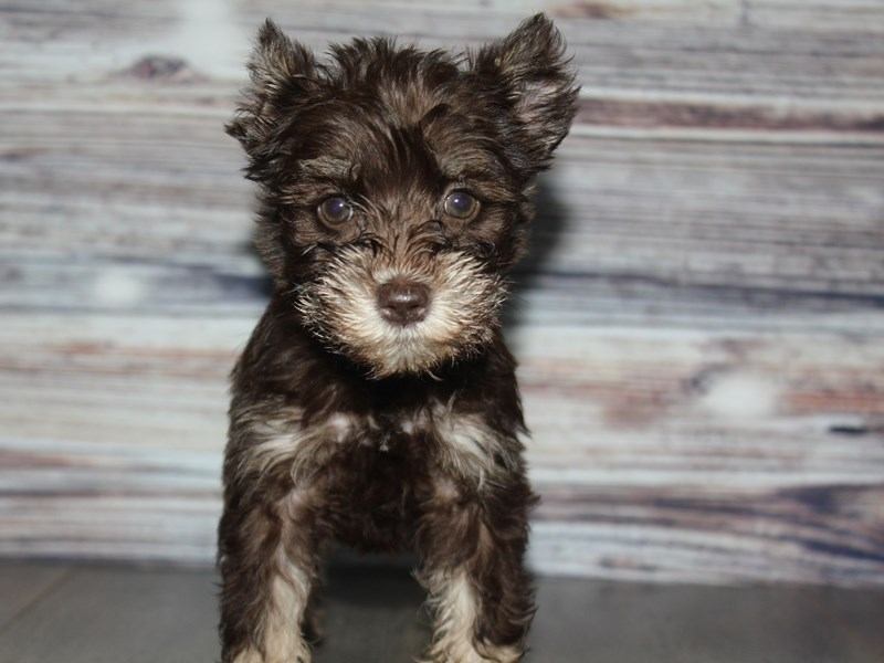 Miniature Schnauzer-Female-CHOC/TAN-2841776-Pet City Houston
