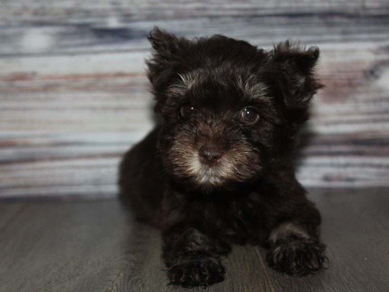 Miniature Schnauzer-Female-CHOC/TAN-2841773-Pet City Houston