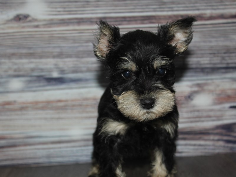 Miniature Schnauzer-Male-BLK/TAN-2841780-Pet City Houston