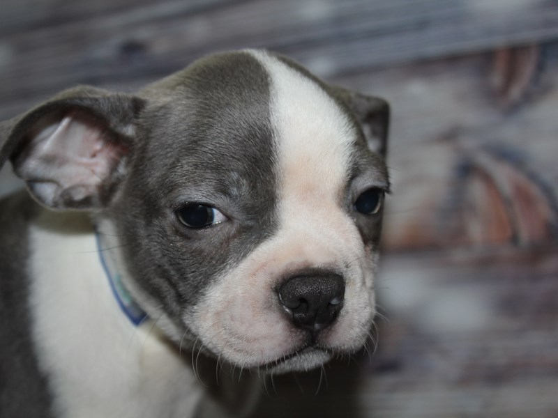 Boston Terrier-Male-BLUE/WHT-2841785-Pet City Houston