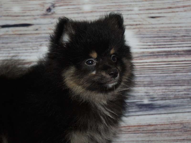 Pomeranian-Male-BLK & TAN-2841236-Pet City Houston