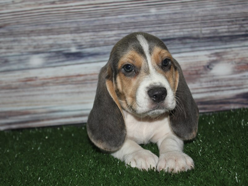 Beagle-Male-GRAY & WHITE-2841198-Pet City Houston