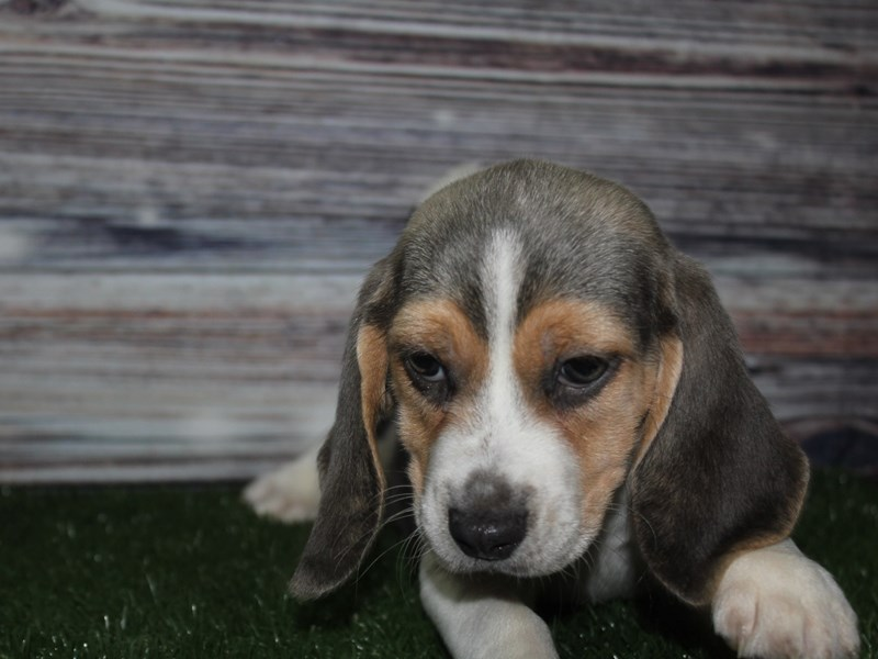 Beagle-Female-GRAY & WHITE-2841201-Pet City Houston