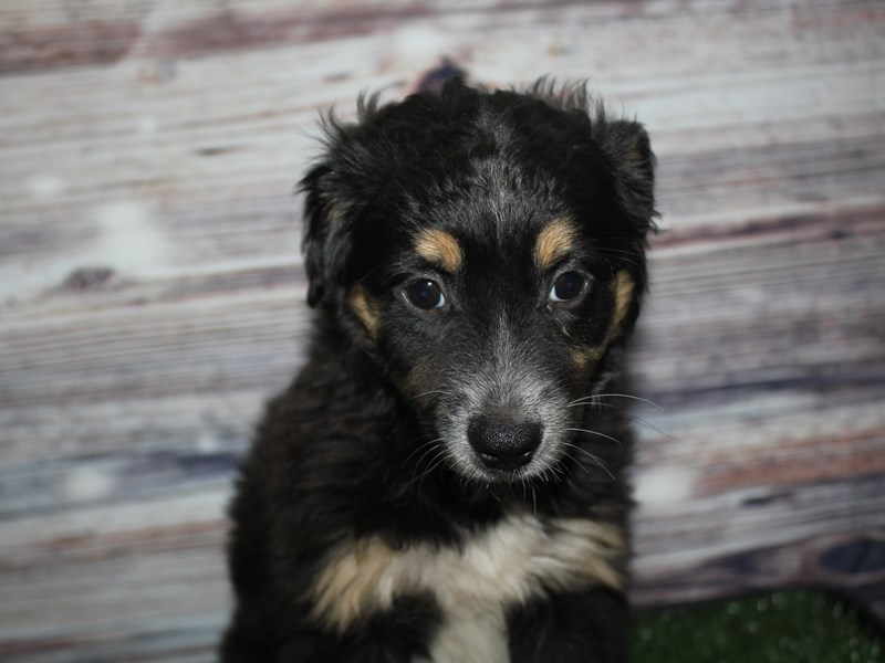 Miniature Australian Shepherd-Female-TRI-2848407-Pet City Houston