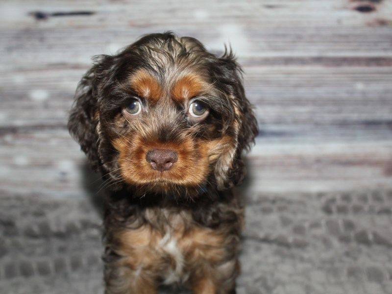 Cocker Spaniel-Male-CHOC ROAN & RED-2848516-Pet City Houston