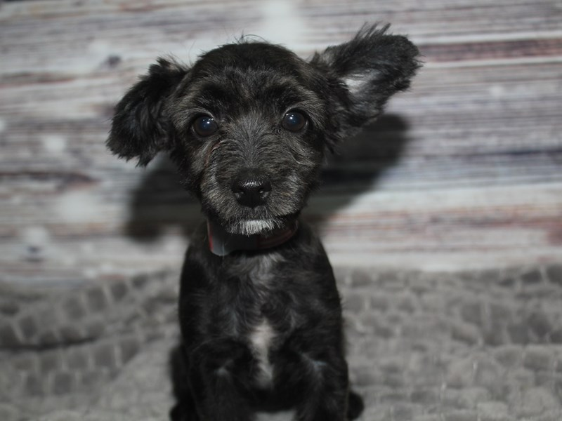 Yorkiepoo-Female-BLK-2848329-Pet City Houston