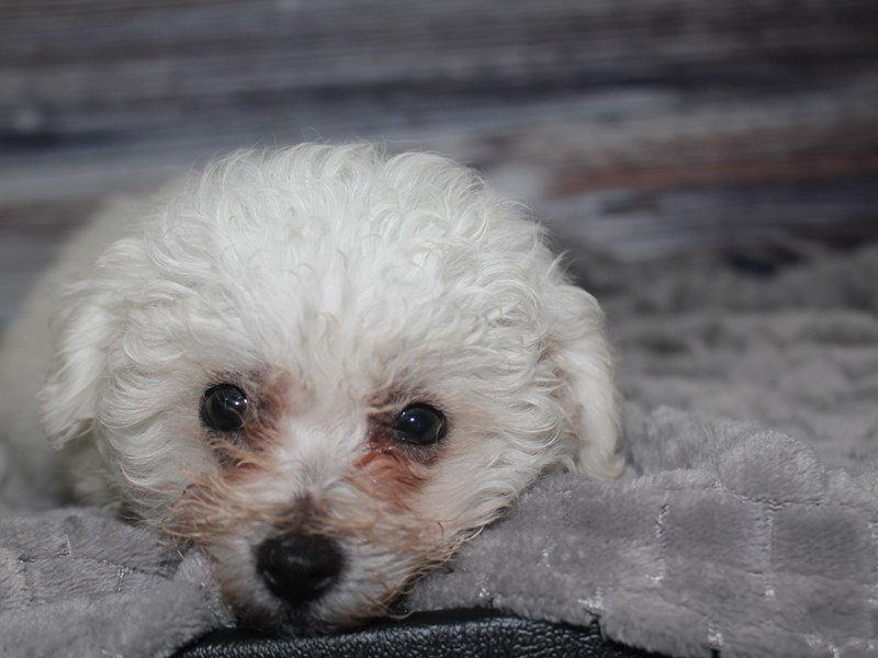Bichon Frise-Male-WHITE-2849208-Pet City Houston