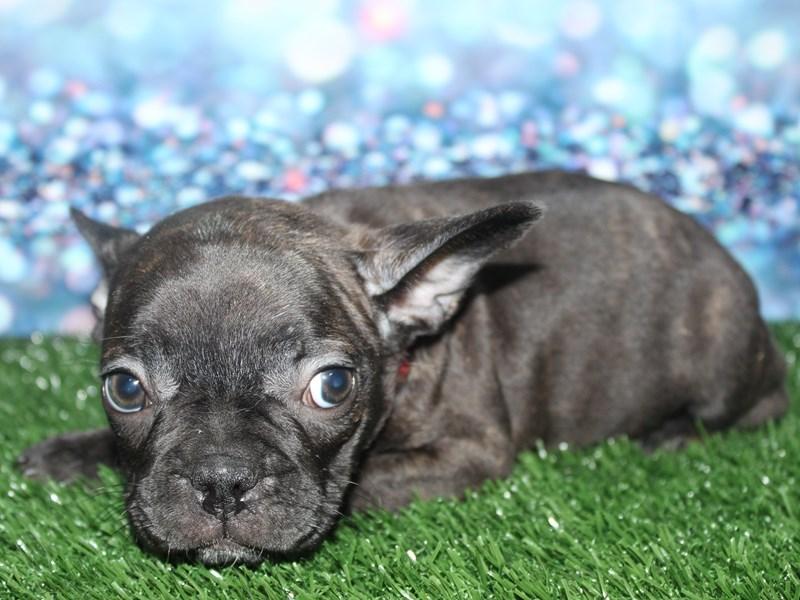 French Bulldog-Female-CREAM-2789662-Pet City Houston