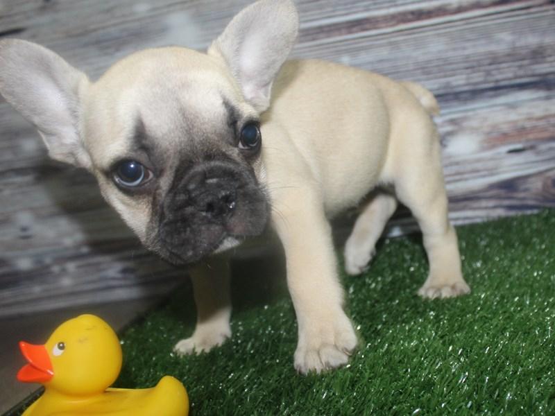 French Bulldog-Male-Fawn/ Black Mask-2818602-Pet City Houston