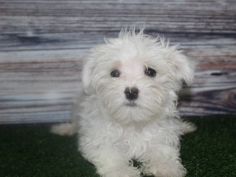 Maltese-Male-WHITE-2819629-Pet City Houston