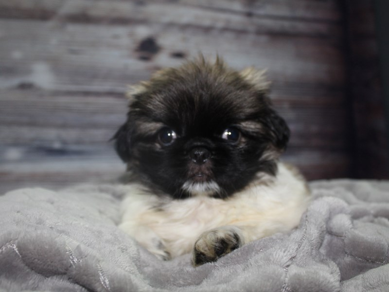 Pekingese-Female-Parti-2827266-Pet City Houston