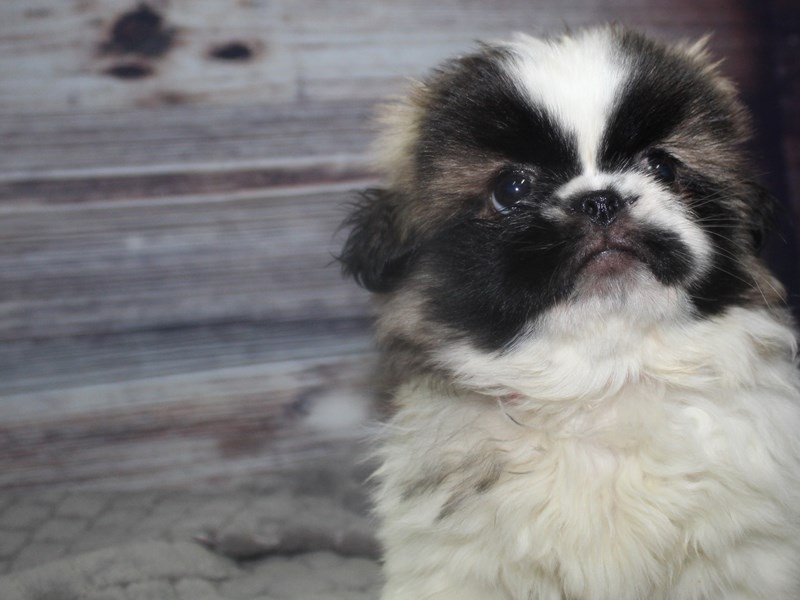 Pekingese-Female-Parti-2827263-Pet City Houston