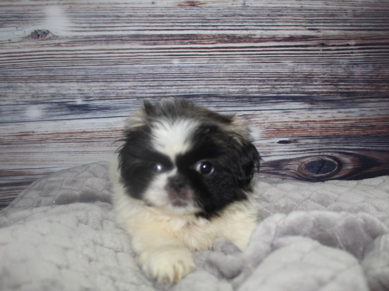 Pekingese-Female-Parti-2827268-Pet City Houston