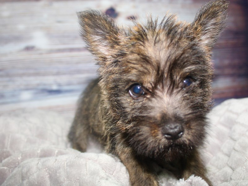 Cairn Terrier-Male-Brindle-2827309-Pet City Houston
