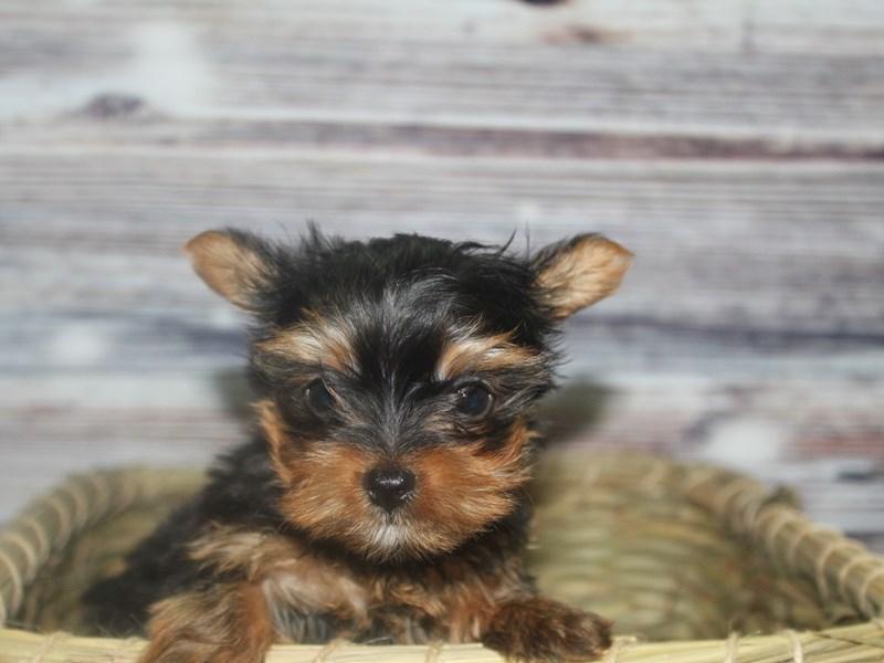 Yorkshire Terrier-Female-BLK/ TAN-2831957-Pet City Houston