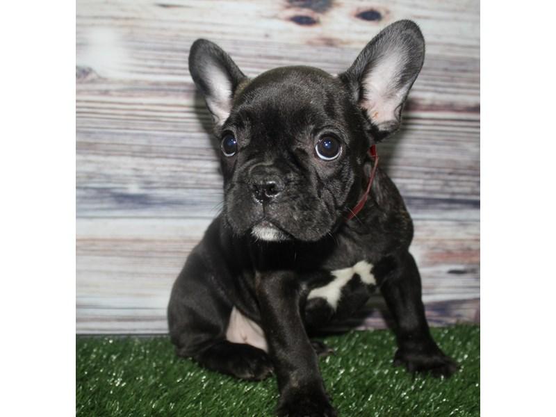French Bulldog-Male-Black-2833716-Pet City Houston