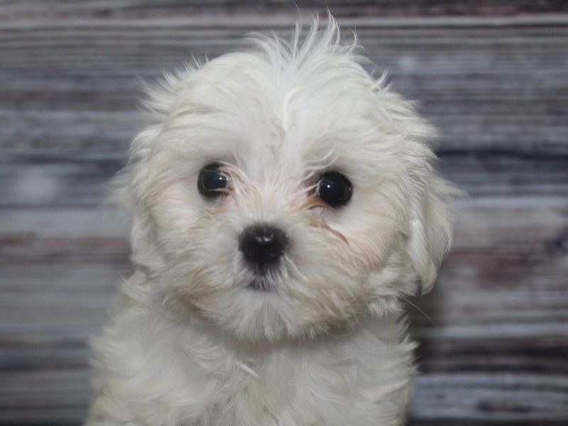 Maltese-Male-White w/ BLK Mks-2833412-Pet City Houston