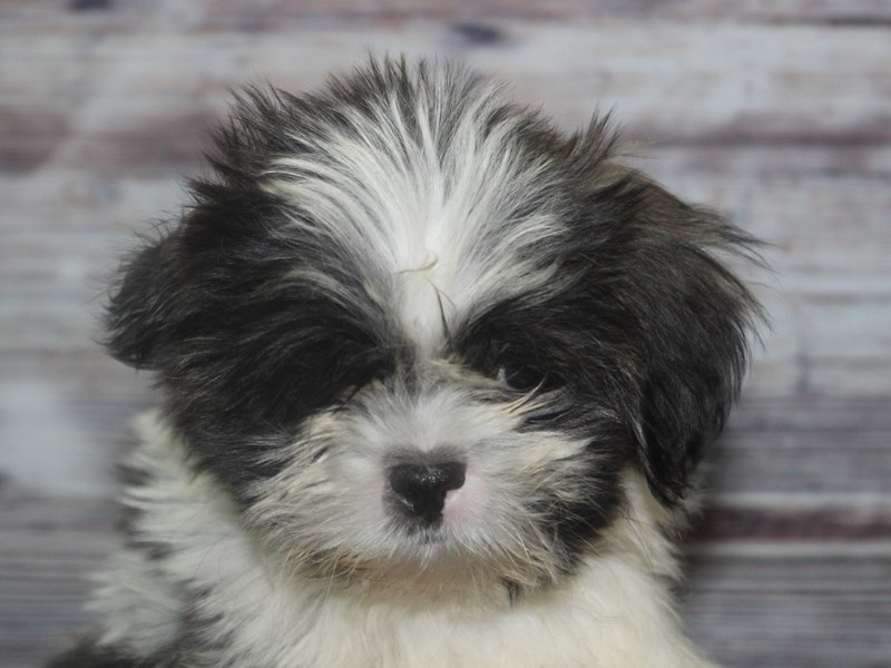 Shih Tzu-Male-Tri-2831978-Pet City Houston