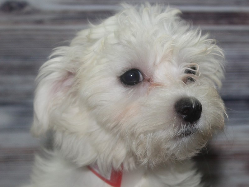 Maltese-Female-White w/ BLK mks-2833480-Pet City Houston