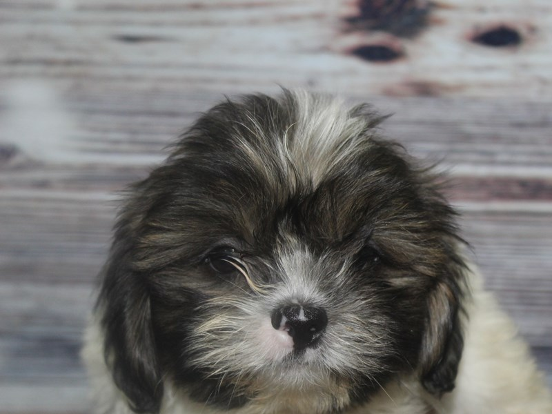 Shih Tzu-Male-BLACK-2830981-Pet City Houston