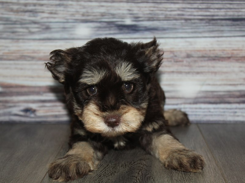 Miniature Schnauzer-Male-CHOC/TAN-2841764-Pet City Houston