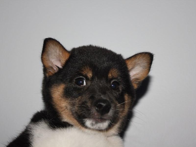 Shiba Inu-Female-BLK/WHT-2841816-Pet City Houston