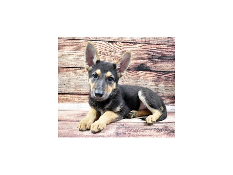 German Shepherd-Female-Black and Tan-2855641-Pet City Houston