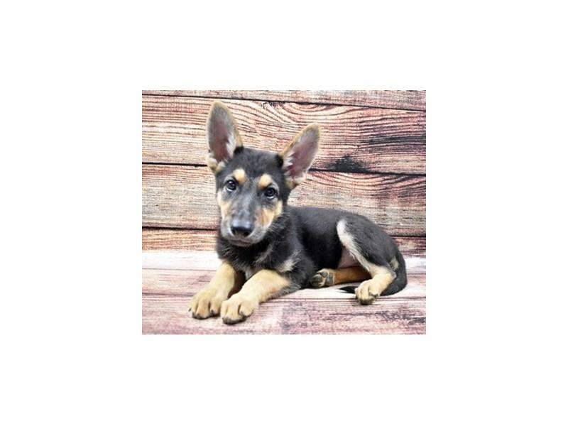 German Shepherd-Female-Black and Tan-2855641-Pet City Houston