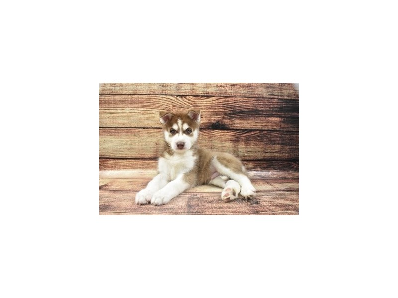 Siberian Husky-Male-Red and White-2855757-Pet City Houston