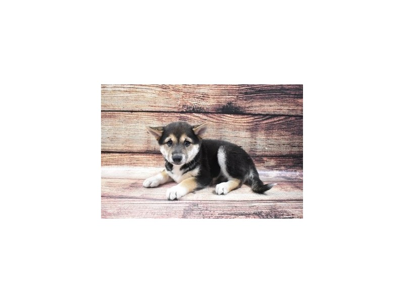 Shiba Inu-Female-Black and Tan-2855821-Pet City Houston