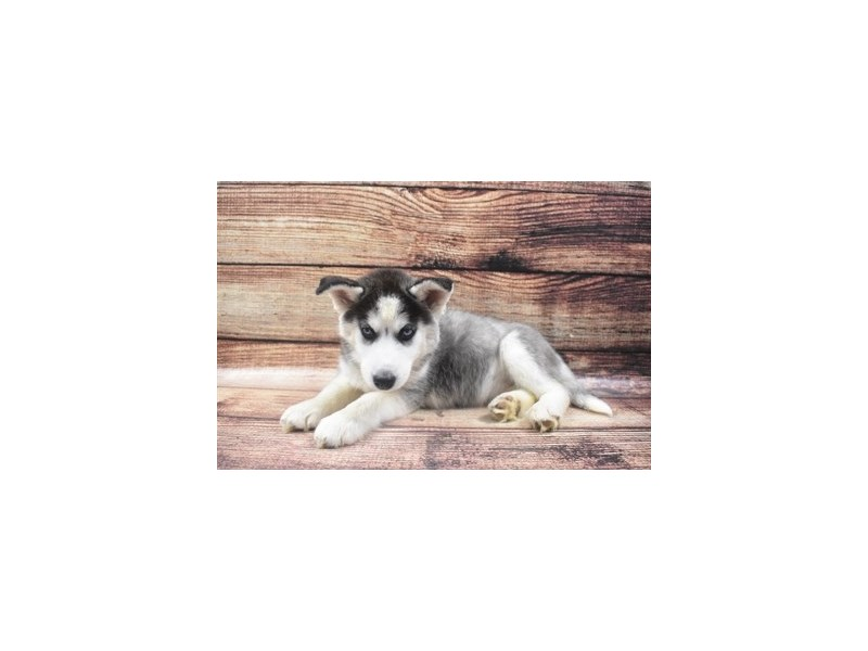 Siberian Husky-Female-Black and White-2855874-Pet City Houston