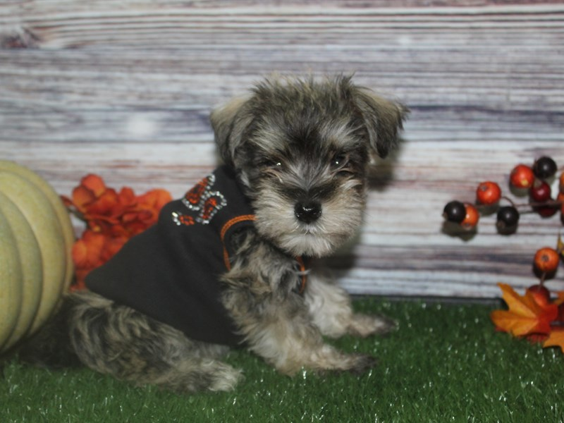 Miniature Schnauzer-Male-SALT/PEPPER-2854354-Pet City Houston