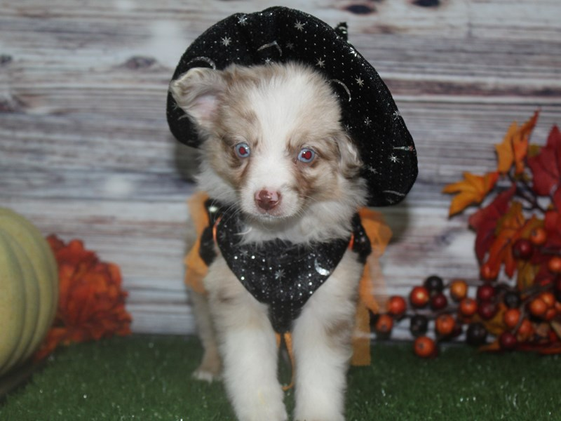 Miniature Australian Shepherd-Female-Red Merle-2854393-Pet City Houston