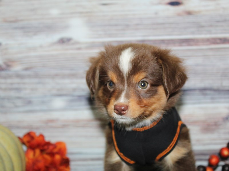 Miniature Australian Shepherd-Male-Red Tri-2854389-Pet City Houston