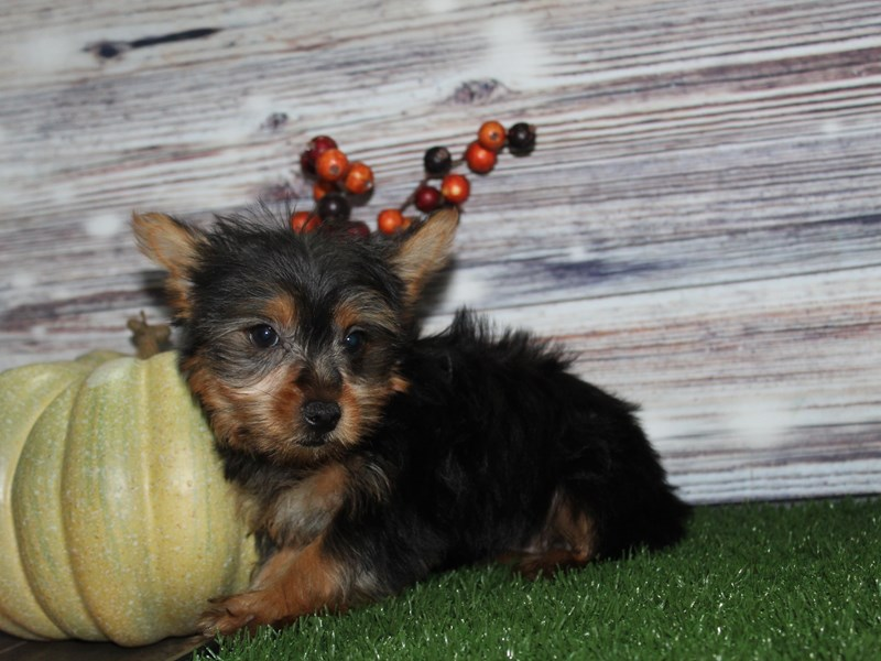 Yorkshire Terrier-Female-BLK / TAN-2855983-Pet City Houston