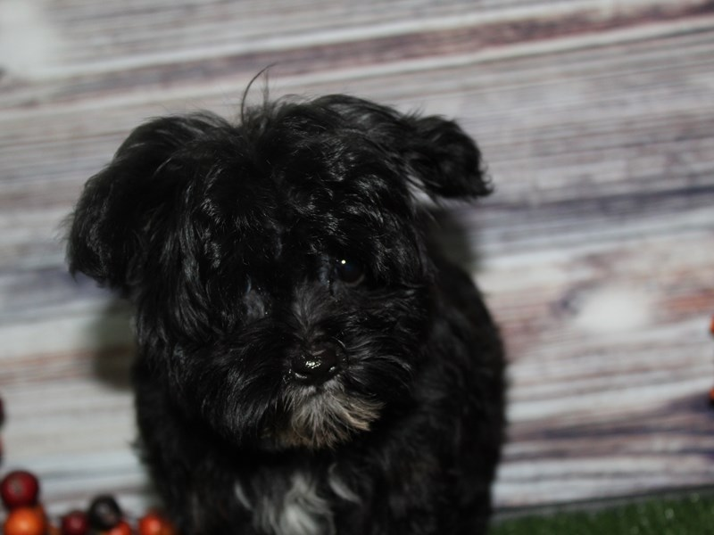 Yorkiepoo-Female-BLK WHT SPOT-2855975-Pet City Houston