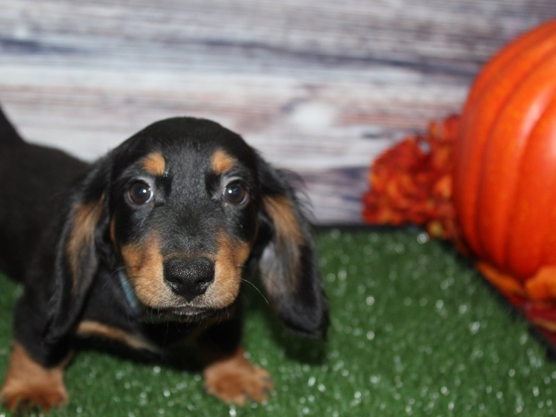 Dachshund-Male-BLACK & TAN-2855935-Pet City Houston