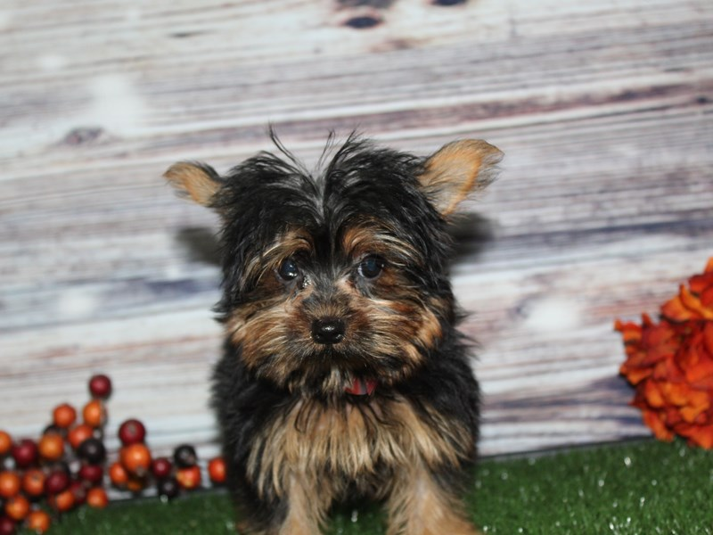 Yorkshire Terrier-Female-BLK/TAN-2855960-Pet City Houston