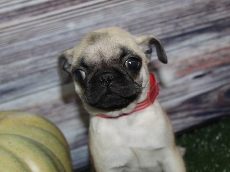 Pug-Female-Fawn-2856895-Pet City Houston