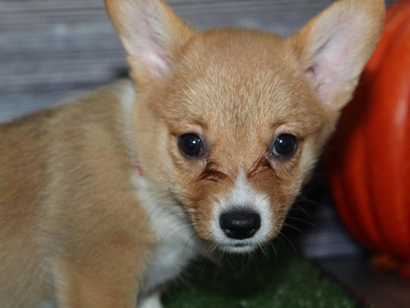Pembroke Welsh Corgi-Female-RED/WHT-2856907-Pet City Houston