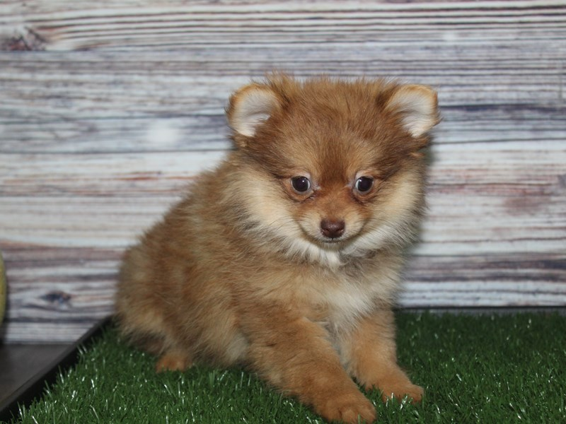 Pomeranian-Female-CHOCOLATE & TAN-2855940-Pet City Houston