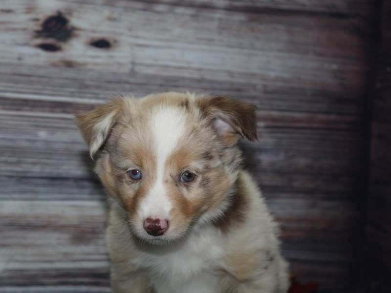 Miniature Australian Shepherd-Female-Red Merle-2854395-Pet City Houston
